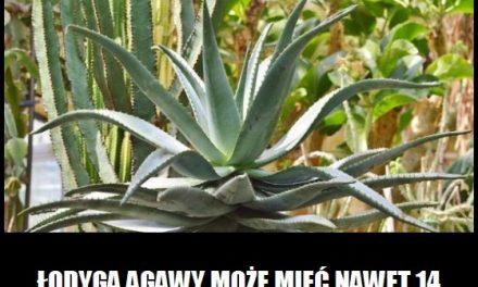 Jaką wysokość może osiągnąć łodyga agawy?