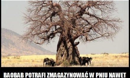 Ile litrów wody potrafi zmagazynować w pniu baobab?