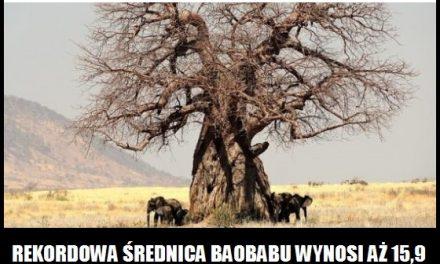 Jaki obwód miał najgrubszy pień baobabu?