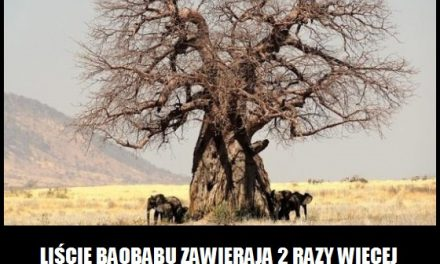 Więcej wapnia zawierają liście baobabu, czy mleko?