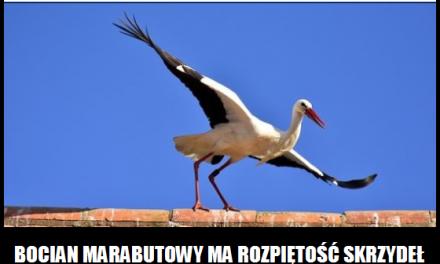 Jaka rozpiętość skrzydeł ma bocian marabutowy?