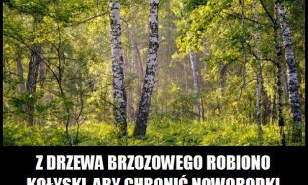 Dlaczego z drzewa brzozowego robiono kołyski?