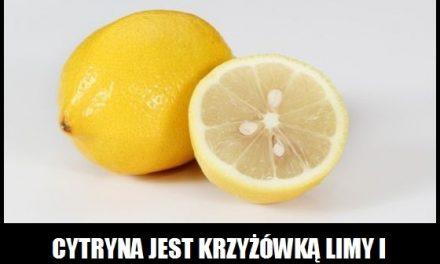 Czego krzyżówką jest cytryna?