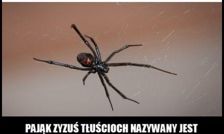 Jaki pająk nazywany jest fałszywą czarną wdową?
