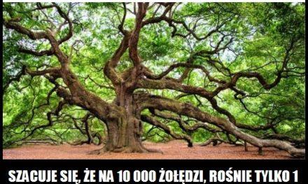 Jaka jest szansa na to, że z żołędzia wyrośnie drzewo?