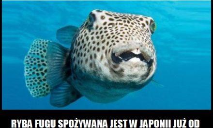 Od którego roku w Japonii spożywa się rybę Fugu?