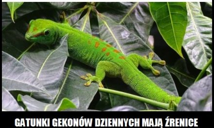 Jak i kiedy zmieniają się źrenice gekonów?