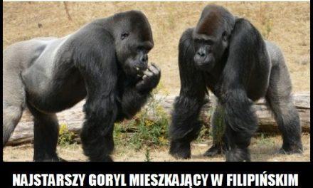 Ile lat miał najstarszy goryl?