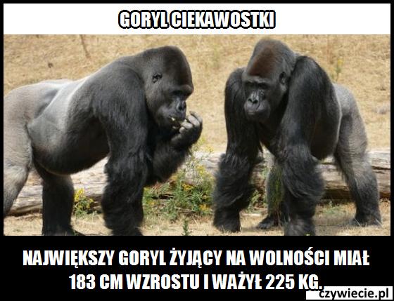 Goryl ciekawostka 4