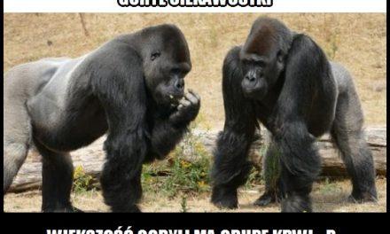 Jaką grupę krwi ma większość goryli?