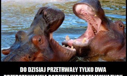 Ile jest gatunków hipopotamów?