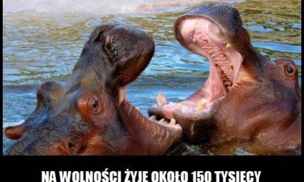 Ile hipopotamów żyje na wolności?