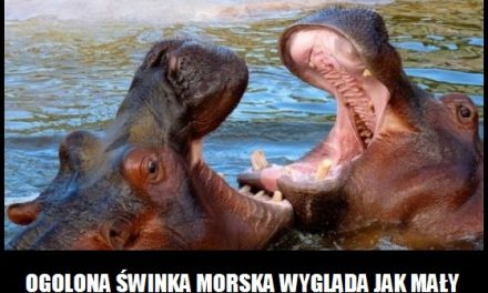 Jak wygląda ogolona świnka morska?