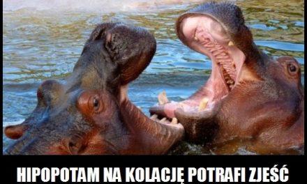 Ile kilogramów roślin potrafi zjeść na kolację hipopotam?