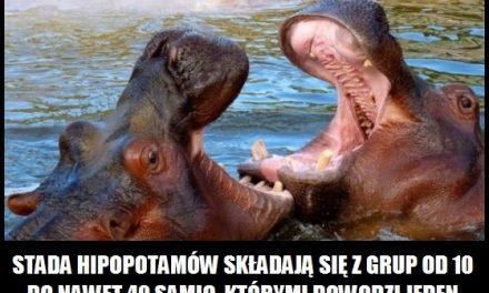 Z ilu samic składa się stado hipopotamów?
