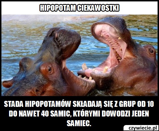 Hipopotam ciekawostka 9