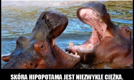 Ile waży skóra hipopotama?