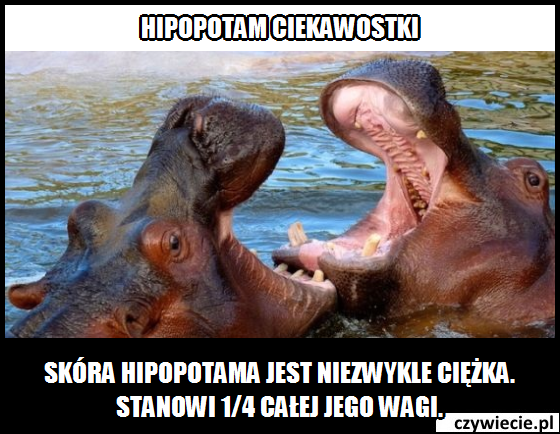 Hipopotam ciekawostka 6