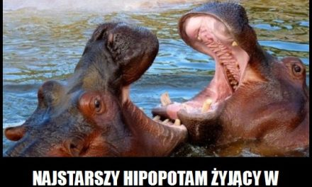 Ile żył najstarszy hipopotam?