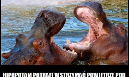 Na jak długo hipopotam potrafi wstrzymać powietrze pod wodą?