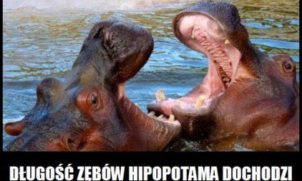 Jaką długość mają zęby hipopotama?