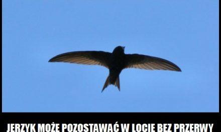 Który ptak potrafi latać bez przerwy ponad 2 lata?