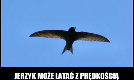 Z jaką prędkością potrafi latać Jerzyk Zwyczajny?