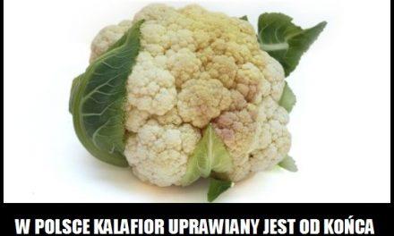 Kiedy w Polsce zaczęto uprawiać kalafior?