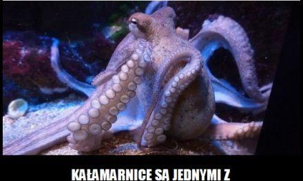 Jak nazwa się jeden z najinteligentniejszych głowonogów?