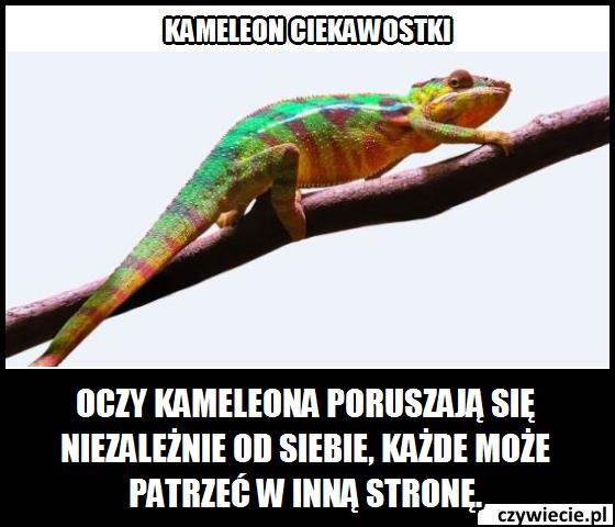 Kameleon ciekawostka 2