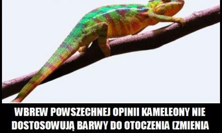 Jak zmienia barwę kameleon?