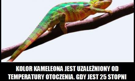 Kiedy zmienia się kolor kameleona?