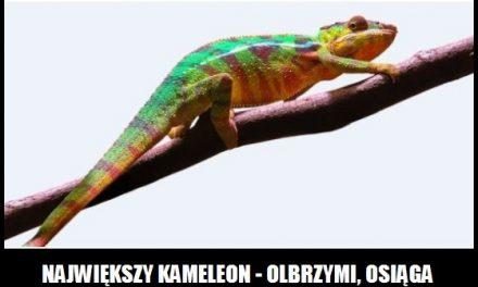 Jaką długość ciała ma największy kameleon?