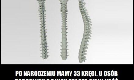 Ile człowiek ma kręgów po narodzeniu?