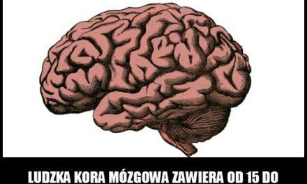 Ile neuronów zawiera ludzka kora mózgowa?