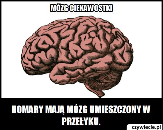 Mózg ciekawostka 11