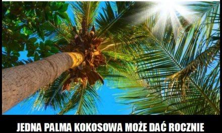 Ile kokosów rośnie na jednej palmie?