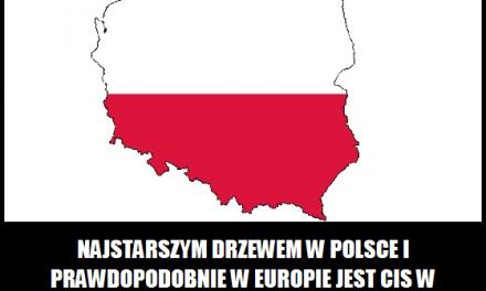 Ile lat ma najstarsze drzewo w Polsce?