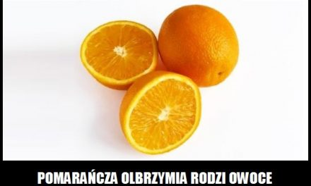 Ile ważą owoce pomarańczy olbrzymiej?