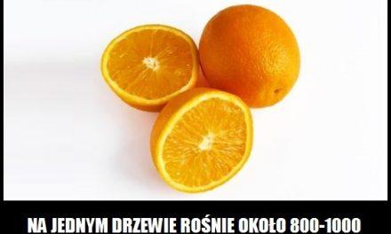 Ile pomarańczy rośnie na jednym drzewie?