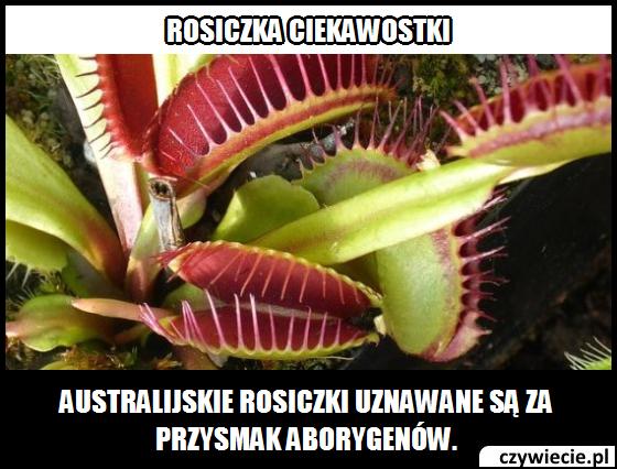 rosiczka