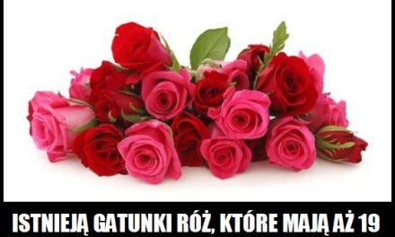 Istnieją róże mające 19 liści?