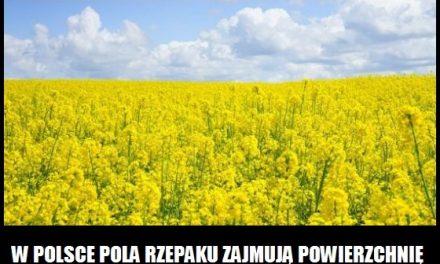 Jaką powierzchnię w Polsce zajmują pola rzepaku?