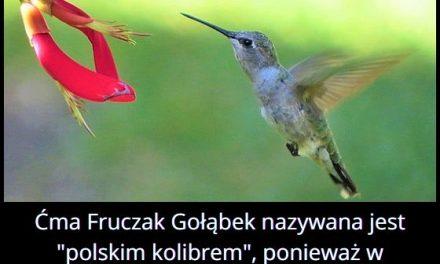 Jaki owad nazywany jest polskim kolibrem?