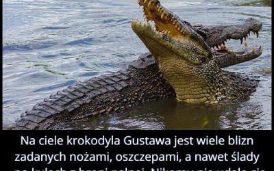 Czym zasłynął krokodyl Gustaw?