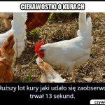 Ile trwał najdłuższy zaobserwowany lot kury?