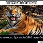 Ile tygrysów żyje na wolności?