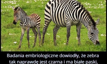 Zebra jest czarna w białe paski, czy biała w czarne paski?
