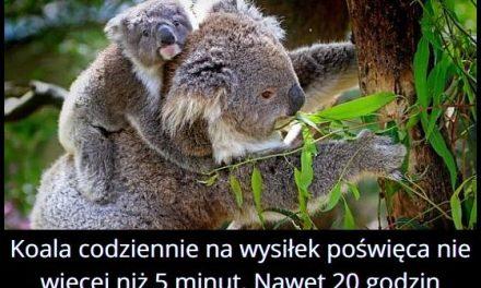 Ile godzin w ciągu doby śpi koala?