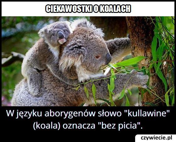 Co w języku aborygenów oznacza nawa koala?